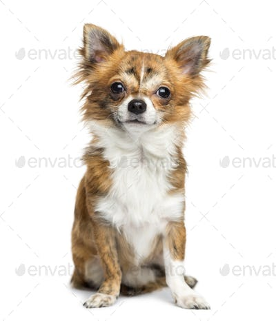 Chihuahua sitting, 8 months old, isolated on white