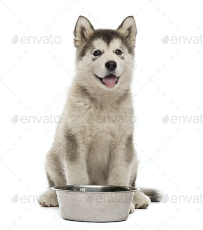 Alaskan Malamute puppy sitting with a bowl isolated on white