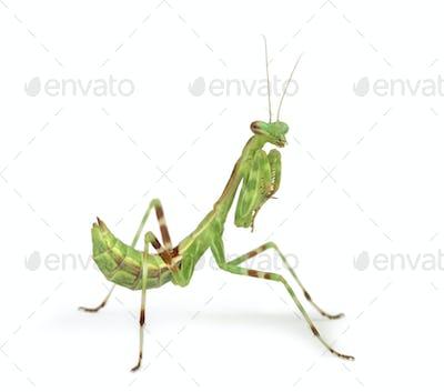 Male African Pinstripe Mantis - Miomantis binotata