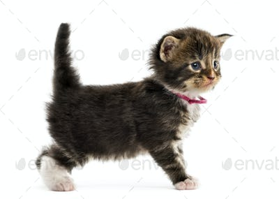 Side view of a Maine coon kitten isolated on white
