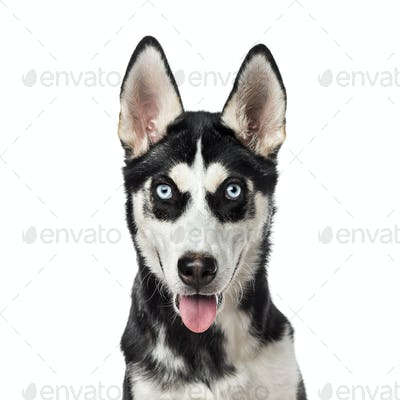 Close-up of a Siberian Husky panting, 7 months old, isolated on white