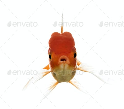 Front view of a Lion's head goldfish opening mouth