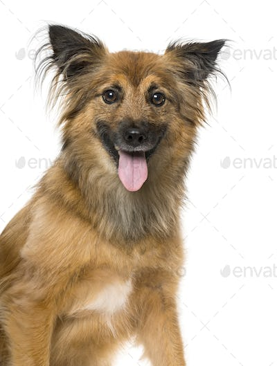 Pyrenean Shepherd panting, isolated on white,4 years old