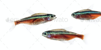Group of Cardinalis fish or cardinal tetra isolated on white