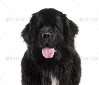 Close-up of a Newfoundland, 3 years old, isolated on white