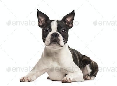 Pug lying, isolated on white