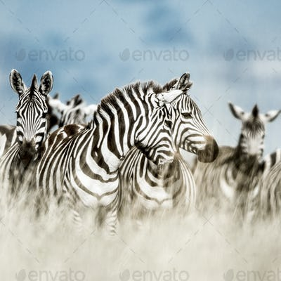 Herd of zebra in the wild savannah, Serengeti, Africa