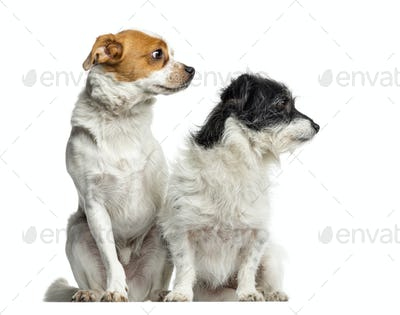 Mixed-breed dogs sitting and looking away, isolated on white