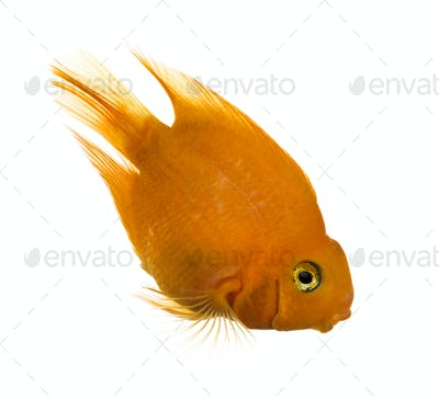 Side view of a Parrotfish looking down isolated on white