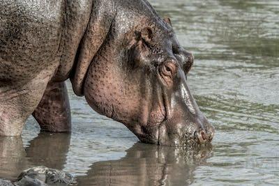 Hippopotamus drinking in river in Serengeti National Park