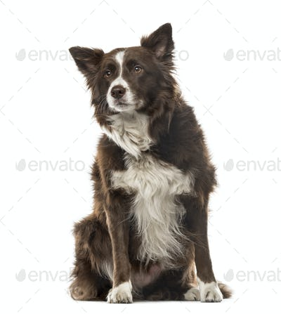 Border Collie sitting and looking away, 7 years old, isolated on white