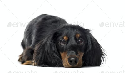 Front view of a Dachshund lying, 1 year old, isolated on white