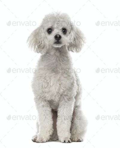 Poodle sitting, 19 months old , isolated on white