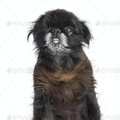 Close-up of a Shih Tzu, 2 years old, isolated on white