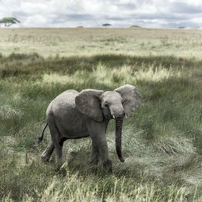 Elephant in Serengeti National Park