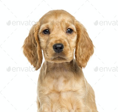 Close-up of a puppy English Cocker Spaniel, 9 weeks old, isolated on white