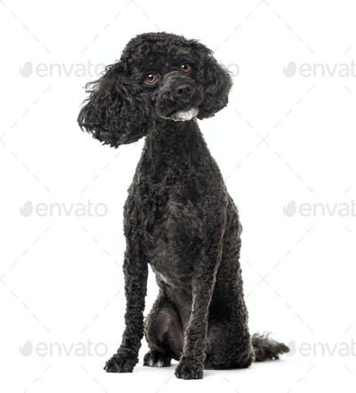Poodle sitting, 3 years old , isolated on white