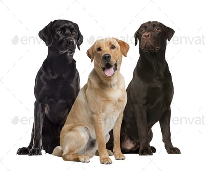Three labrador sitting, isolated on white
