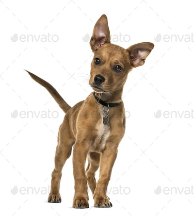 Mixed-breed dog standing, 3 months old, isolated on white
