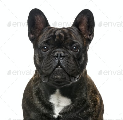 Close-up of a French Bulldog, isolated on white, 30 months old