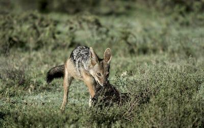 Jackal eating, in Serengeti National Park