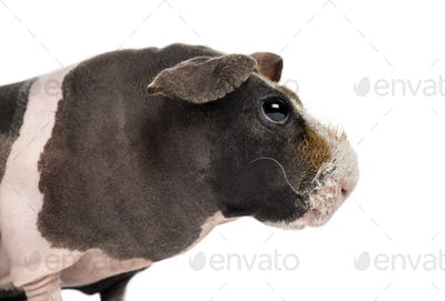 Close-up of a hairless guinea pig , isolated on white