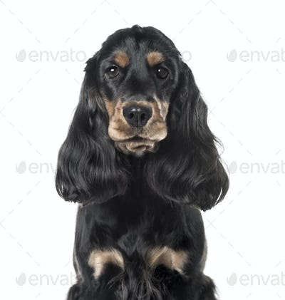 A black Cocker Spaniel looking at the camera, isolated on white