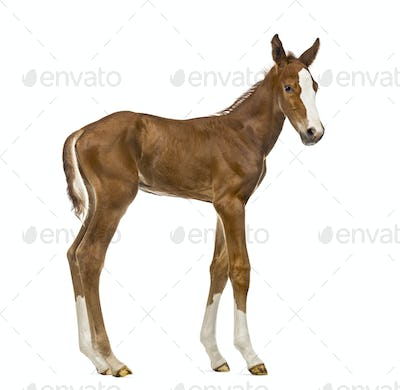 Side view of a foal isolated on white