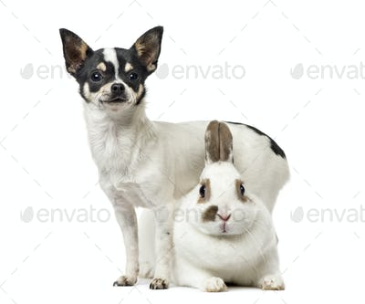 Chihuahua, 8 months old), and a rabbit, isolated on white