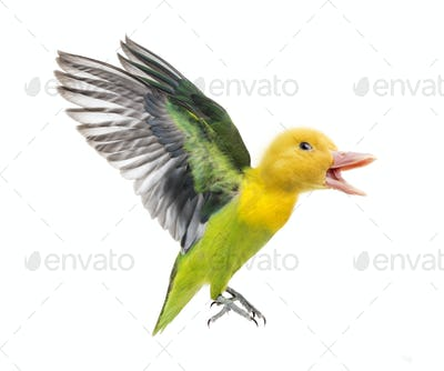 Hybrid duckling and Yellow-collared lovebird flying against white background