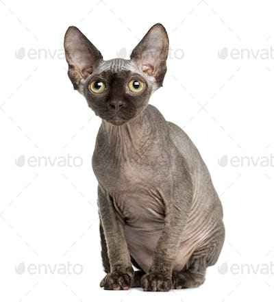 Sphynx cat sitting, 5 months old, isolated on white