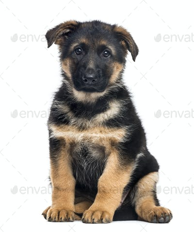 Puppy German Shepherd Dog sitting, 2 months old , isolated on white