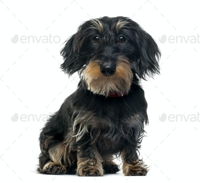 Daschung sitting, 1 year old, isolated on white