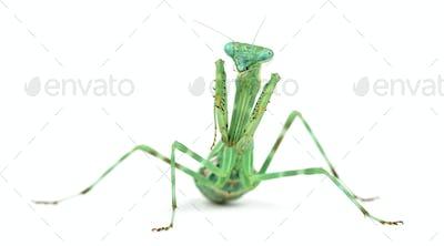 Female praying mantis, isolated on white