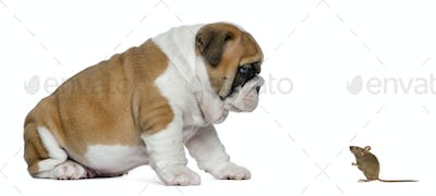 English bulldog puppy looking at a mouse, isolated on white