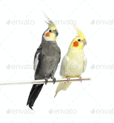 Two Cockatiel on a metal perch, isolated on white