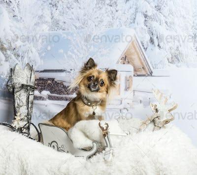 Chihuahua sitting in sleigh in winter scene, portrait