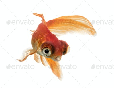 Goldfish in water, islolated on white