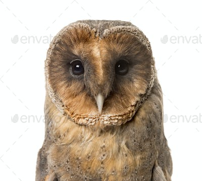 Close-up of a Barn owl , isolated on white