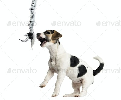 Puppy Jack Russell Terrier playing with a rope, 4 months old, isolated on white