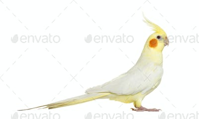 Side view of a Cockatiel, isolated on white