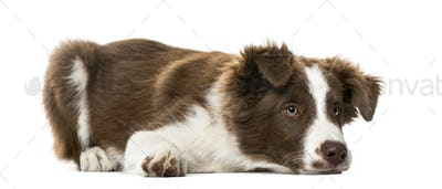 Puppy Border Collie lying, isolated on white,15 weeks old