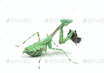 praying mantis  eating a fly isolated on white