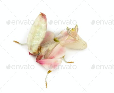 Female praying mantis, orchid mantis, isolated on white