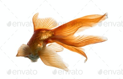 Back view of a Goldfish in water, islolated on white