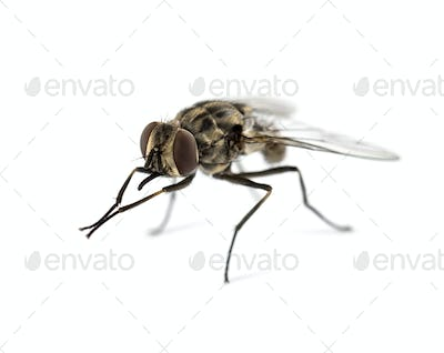 Common housefly , isolated on white