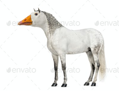 Male Andalusian with plaited mane, 7 years old, with face of a goose against white background