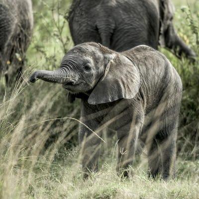 Calf elephant in Serengeti National Park