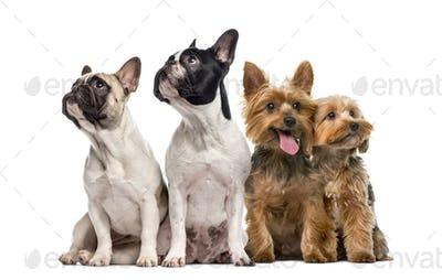 Group of dogs sitting and looking up, isolated on white