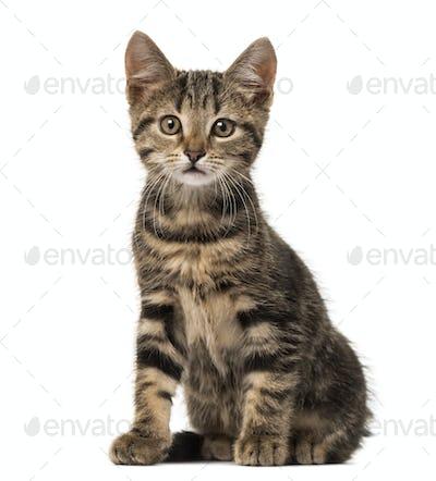 European cat sitting , isolated on white